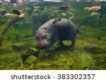 Hippo Underwater  Pygmy...