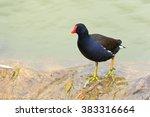 The Common Moorhen  Gallinula...