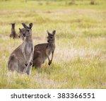 Red Kangaroos  Macropus Rufus   ...