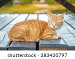 Stock photo beautiful ginger tabby cat with screwed up eyes is lying on the wooden floor orange cat is 383420797