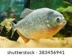 Piranha Tropical Fish        ...