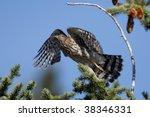 Small photo of Sharp-Shinned Hawk (Accipiter striatus)