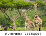 Two Giraffes Close With An...