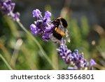 Humble Bee On Lavander Flower...