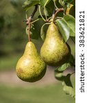 A Pair Of Pears Hanging On A...