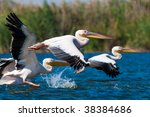 flock of american great white... | Shutterstock . vector #38384686