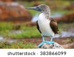 Blue Footed Booby  Sula...