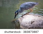 yellow crowned night heron. ... | Shutterstock . vector #383873887