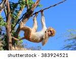 rhesus macaque  macaca mulatta  ... | Shutterstock . vector #383924521