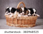 Stock photo little puppies breed papillon in a basket close up 383968525