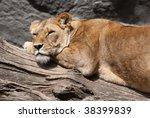 female lion - stock photo