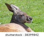 sleeping kangaroo - stock photo