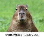 close-up of a young capybara - stock photo