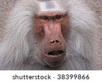 close-upof an old male baboon - stock photo