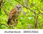 Stock photo barred owl strix varia sitting on a tree barred owl is best known as the hoot owl for its 384015061
