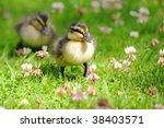 Pair Of Ducklings Waddling...