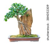 Bonsai Tree In A Brown Ceramic...