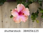 showy pink suffused with orange ... | Shutterstock . vector #384056125