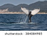 humpback whale diving south... | Shutterstock . vector #384084985