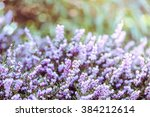 spring heathers with soft focus ... | Shutterstock . vector #384212614