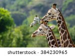 The Giraffe With Her Colleagues.