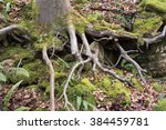 Exposed Roots Of A Beech Tree ...