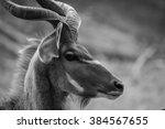 A Huge Kudu Bull Antelope In...