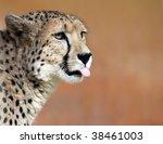 Portrait of a female cheetah 01 - stock photo