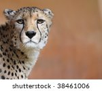 Portrait of a female cheetah 02 - stock photo