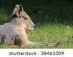 Close-up of a Mara - stock photo