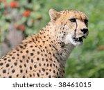 female cheetah - stock photo