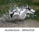 A Pied Avocet take a bath - stock photo