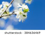 Flowers Of The Cherry Blossoms...