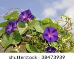 Purple Morning Glory Closeup