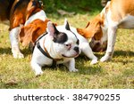 Stock photo french bulldog and beagle dog playing on the grass 384790255