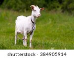 goat grazing on green grass. | Shutterstock . vector #384905914