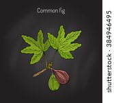 common fig  ficus carica . hand ... | Shutterstock .eps vector #384946495