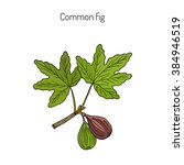 common fig  ficus carica . hand ... | Shutterstock .eps vector #384946519