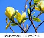 Yellow Magnolia 'butterflies'
