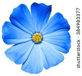 Stock photo blue flower primula macro isolated on white 384983377