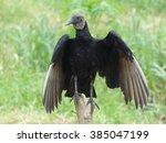 Black Vulture   Coragyps...