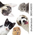 Stock photo puppy and kitten and guinea pig 385140055