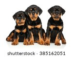 Rottweiler Puppies On White...
