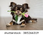 chihuahua dog lying down and... | Shutterstock . vector #385266319