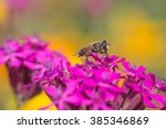 Small photo of dronefly on pink pink silene ameria