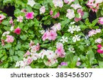 flowers of primula auricula | Shutterstock . vector #385456507