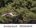 Small photo of Roseate Spoonbill in flight near mangroves on Alafia Banks
