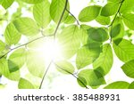 Beech Leaves And Sunbeam In A...