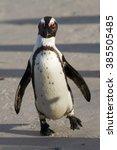 Walking Jackass Penguin ...