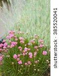 Sea Pink  Sea Thrift Plant ...